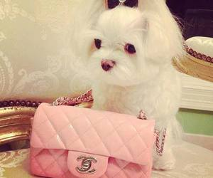 chanel, rose, and chien image