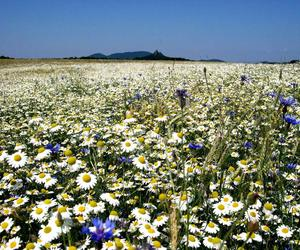 camomile, mountain, and summer image