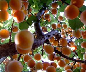 fruit, peach, and tree image