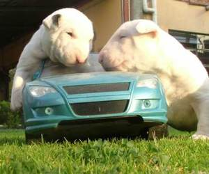 bull terrier, Filhotes, and puppies image