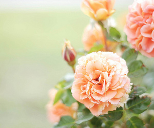 flowers, photography, and roses image