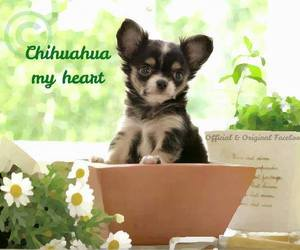 chihuahua, margherite, and flowers image