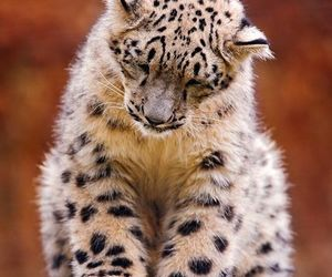 snow leopard, animal, and big cat image