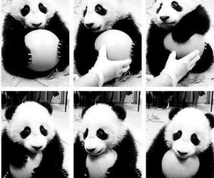 panda, cute, and black and white image