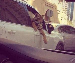 tiger, car, and animal image