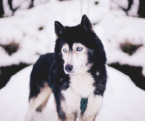 wolf, snow, and dog image