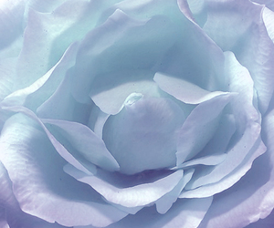 blue, romance, and rose image