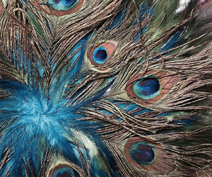 colorful, peacock, and feathers image