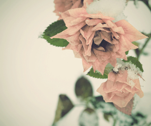 pink, roses, and snow image