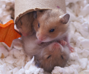 animal, cute, and hamsters image