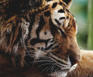 tiger, animal, and sleep image