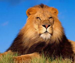 beautiful, cat, and lion image
