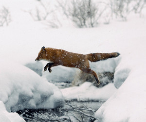 snow, animal, and fox image