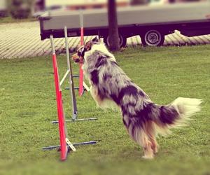 australian shepherd, dog, and jumping image