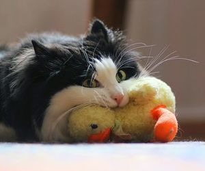 cat, cute, and duck image
