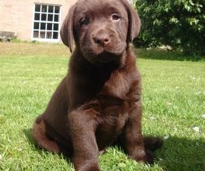 cute, dog, and labrador image