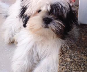 dog, lhasa apso, and lovely image