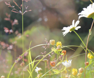 daisies, flowers, and summer image