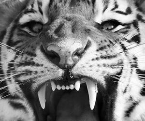 b&w, wild, and big cats image