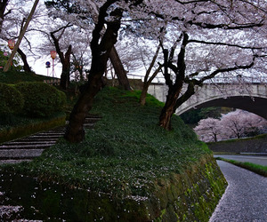 japan, tree, and cherry blossom image