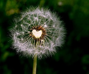 dandelion and heart image