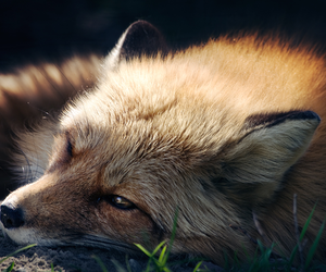 fox and wild image