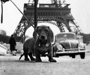 b&w, car, and dachshund image