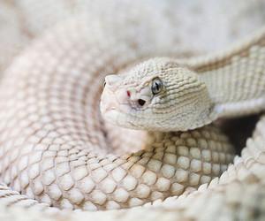 albino and rattlesnake image
