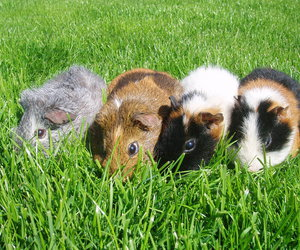 guinea, in, and pigs image