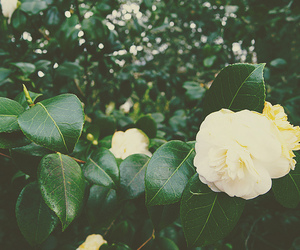 flower, green, and rose image