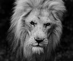 animals, lion, and black and white image