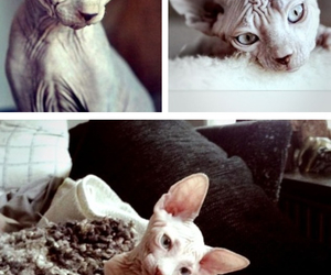 cat, sphynx, and spynx cat image