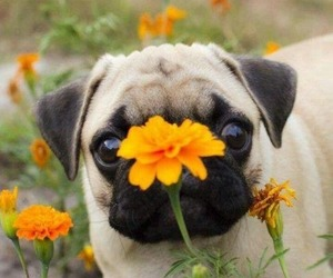 pug, cute, and flowers image