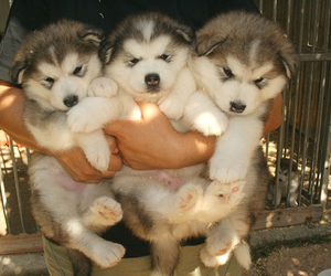 adorable, husky, and cute image