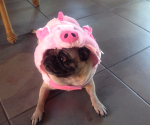 costume, Halloween, and pig image