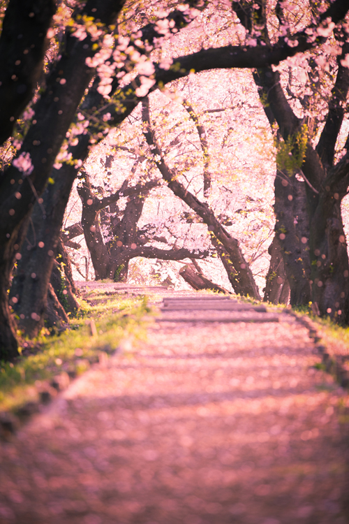 24 Images About Cherry Blossom Heaven On We Heart It See More