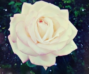 flower, white, and rose image