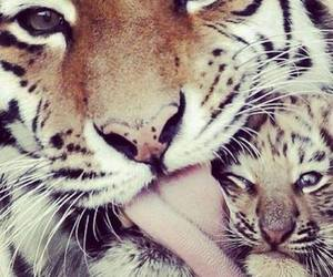 tiger, animal, and baby image