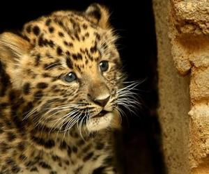 leopard and big cats image