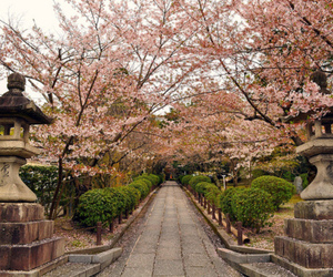 cherry blossom, colors, and cherry blossom trees image
