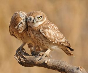 owl and kiss image