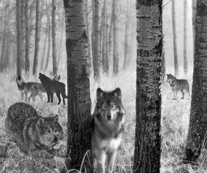 wolves, forest, and black and white image