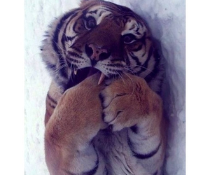 tiger, lovely, and quotes image