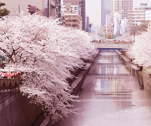 pink, cherry blossom, and cute image