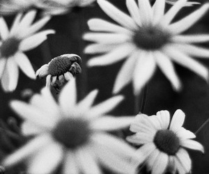 black and white, daisy, and film image