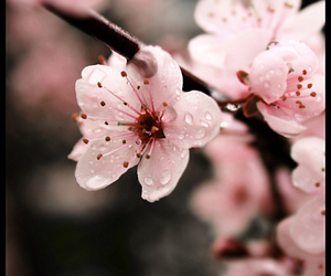 flowers, pink, and sakura image