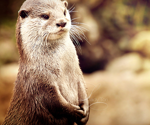 nature, otter, and cute image