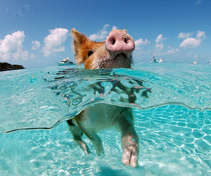 pig, water, and animal image