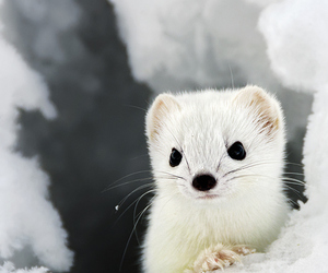 animal, cute, and stoat image