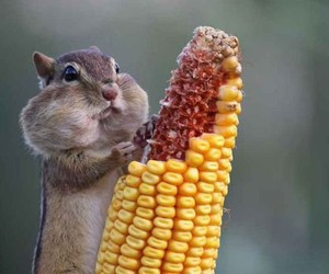 squirrel, animal, and corn image